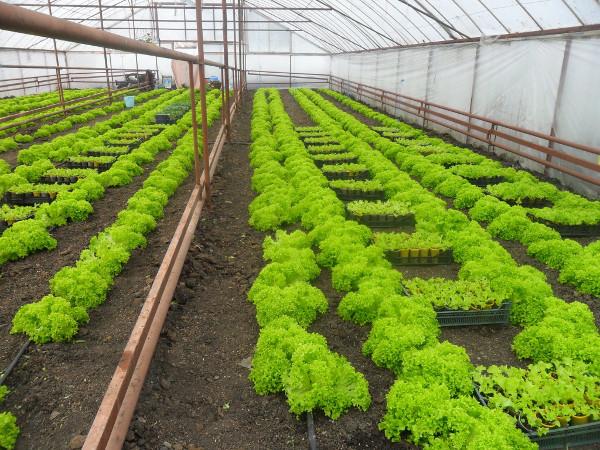 Выращивание зелени в теплице как бизнес